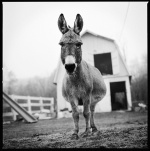 donkey black and white