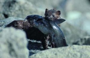 mink_with_dinner_imagelarge